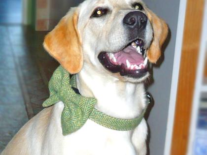 Labrador Betty